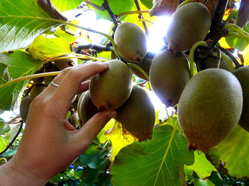 sbírání kiwi ovoce - Working Holiday Visa Nový Zéland